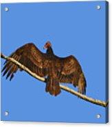 Vivid Vulture .png Acrylic Print