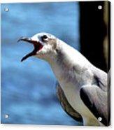Vocal Sea Gull Acrylic Print