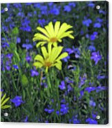 Voltage Yellow And Electric Blue 06 Acrylic Print