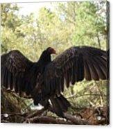 Vulture 429 Acrylic Print