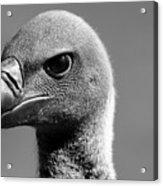 Vulture Eyes Acrylic Print