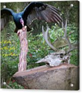 vulture with Skull Acrylic Print