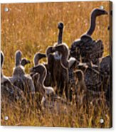 Vultures Acrylic Print
