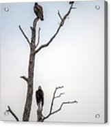 Vultures Perched In A Dead Tree Acrylic Print
