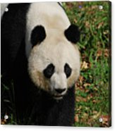 Waddling Giant Panda Bear In A Grass Field Acrylic Print