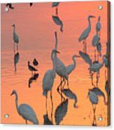 Wading Birds Forage In Colorful Sunset Acrylic Print