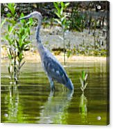 Wading Blue Heron Acrylic Print