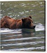 Wading Brown Bear Acrylic Print