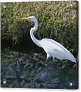 Wading For Dinner Acrylic Print