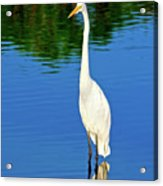 Wading Great White Egret Acrylic Print