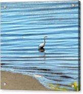 Wading Heron Acrylic Print