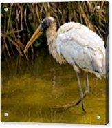 Wading Wood Stork Acrylic Print