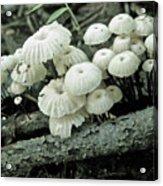 Wagon Wheel Mushroom Colony Acrylic Print