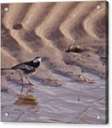 Wagtail On West Sands Acrylic Print