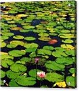Wailea Water Lilies Acrylic Print