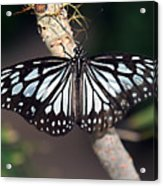 Waiting --- Rice Paper Butterfly Acrylic Print