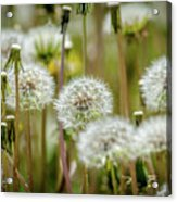 Waiting For A Spring Breeze Acrylic Print