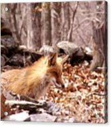 Waiting Fox Acrylic Print