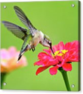 Waiting In The Wings Hummingbird Square Acrylic Print
