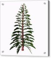 Walchia Tree Acrylic Print