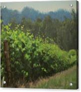 Walk In The Vineyard Acrylic Print