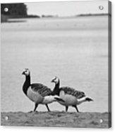 Walk On The Beach. Barnacle Goose Acrylic Print