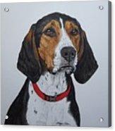 Walker Coonhound - Cooper Acrylic Print