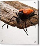 Walking Beetle Acrylic Print
