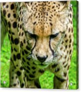 Walking Cheeta Acrylic Print