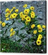 Wallflower Ain't So Bad Acrylic Print