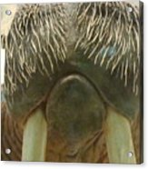 Walrus Whiskers Acrylic Print