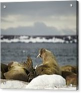 Walruses With Giant Tusks At Arctic Haul-out Acrylic Print