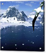 Wandering Albatross Over The Le Maire Channel Acrylic Print