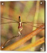 Wandering Glider Dragonfly Acrylic Print