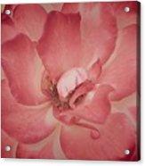 Warm Petals Acrylic Print