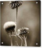 Warm Thistle Acrylic Print