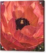 Warm Tone Ranunculus Acrylic Print