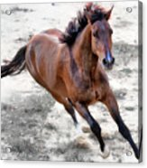Warmblood Horse Galloping Acrylic Print by Vanessa Mylett