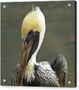Wary Brown Pelican Acrylic Print