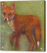 Wary Fox Cub Acrylic Print