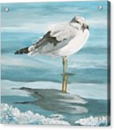 Wary Seagull 2 Acrylic Print