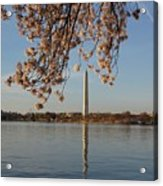 Washington Monument With Cherry Blossoms Acrylic Print by Megan Cohen