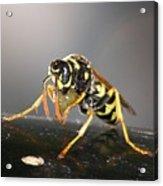Wasp At Work Acrylic Print