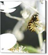 Wasp At Wotk Acrylic Print