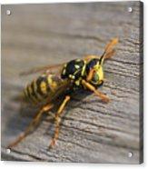 Wasp Close-up Acrylic Print