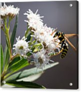 Wasp Closeup Acrylic Print