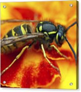 Wasp In The Bloom Acrylic Print