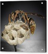 Wasp On A Nest Acrylic Print