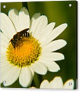 Wasp On Daisy Acrylic Print
