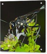 Wasp Visit Acrylic Print